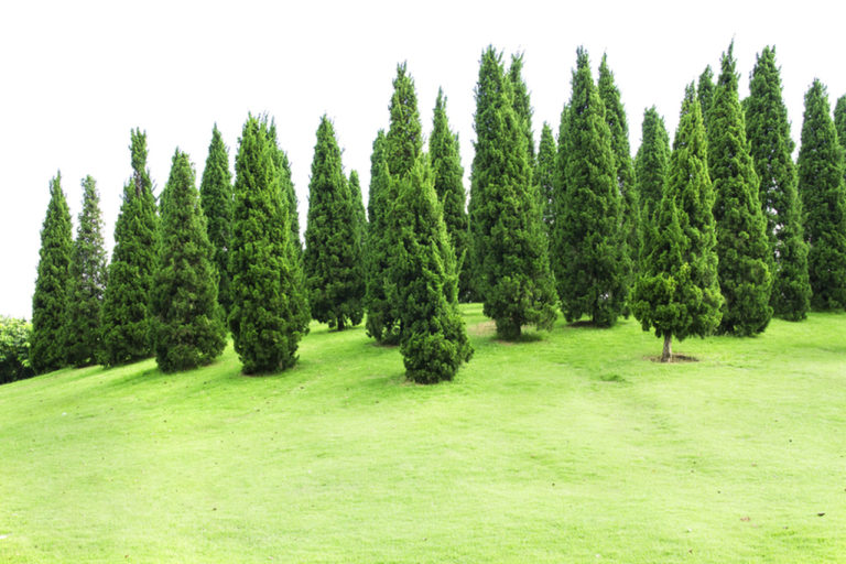 How Do Pine Trees Attain Faster Growth? Everything You Need To Know